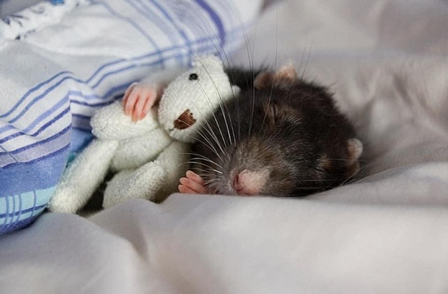Крыса в обнимку с игрушечным белым медвежонком