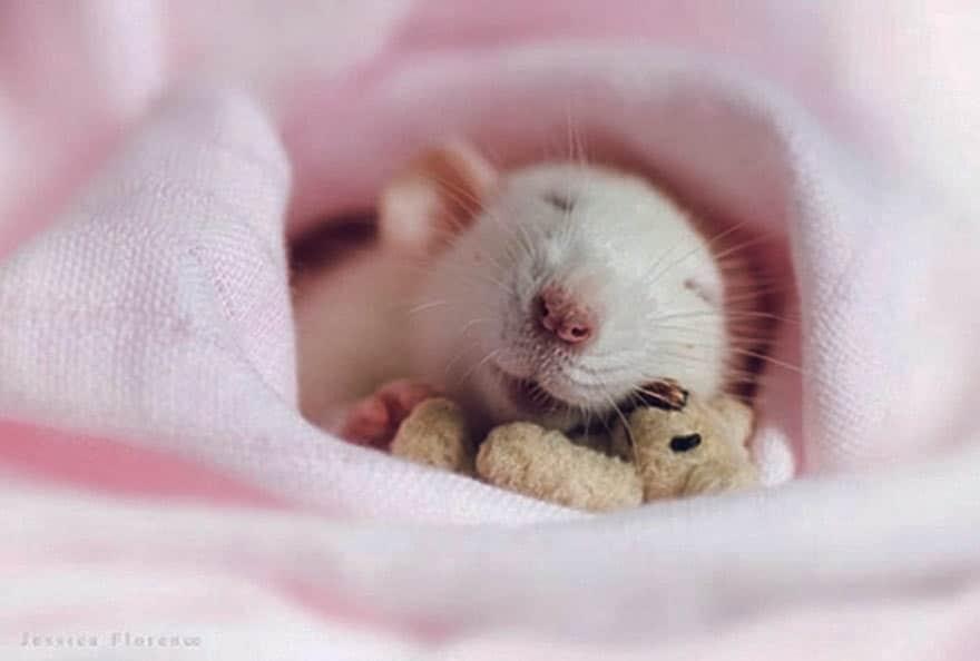 Крыса спит в обнимку с мишкой