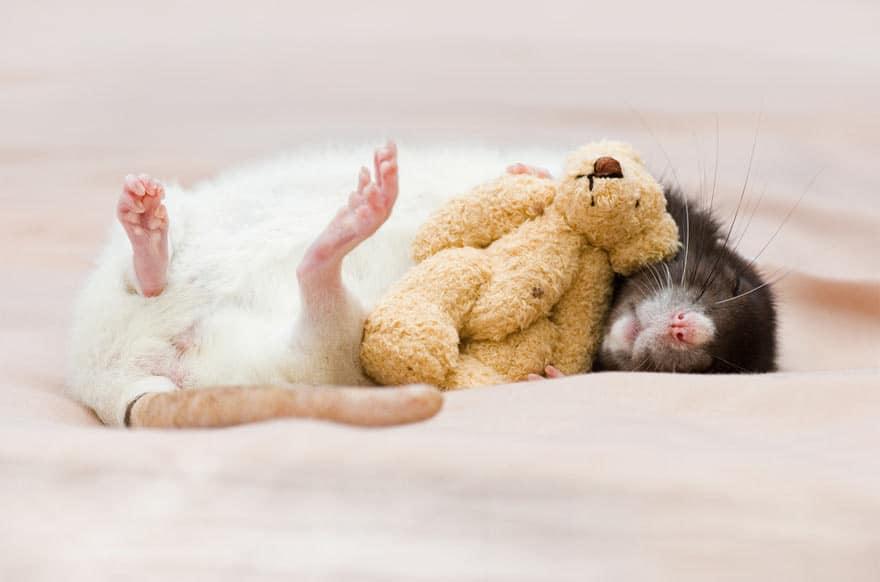 Крыса спит с мишкой
