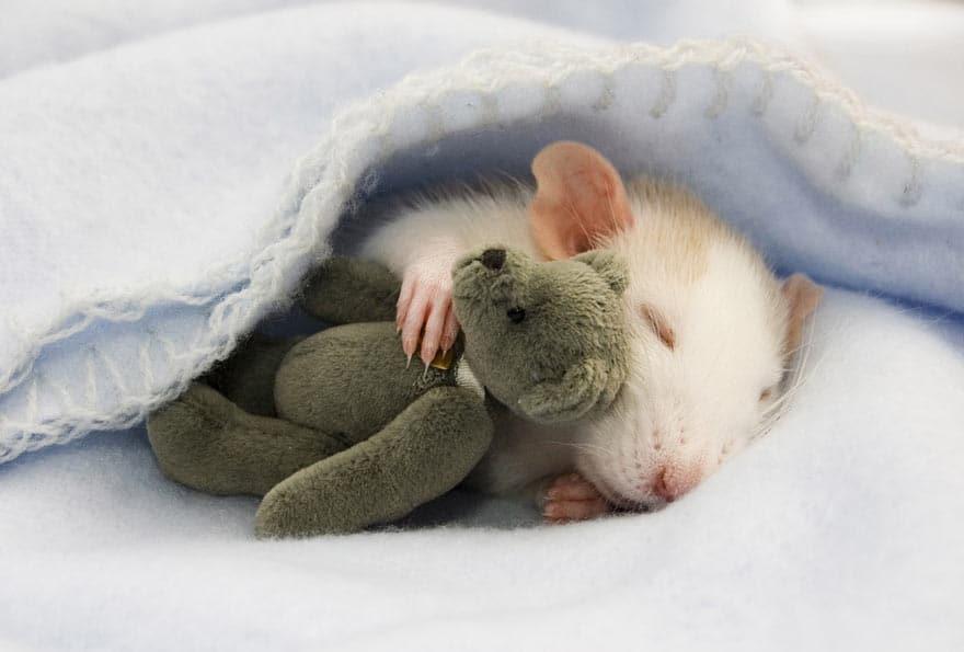 Крыса спит с мишкой-игрушкой