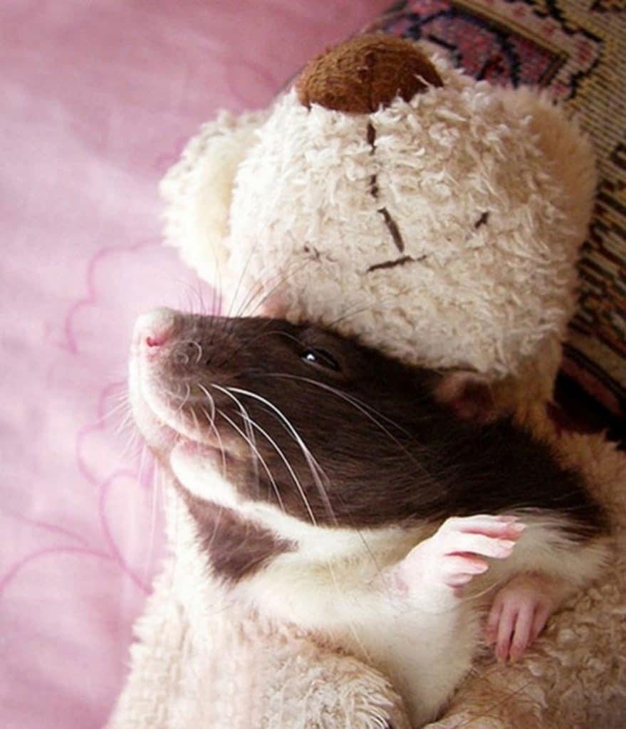Крыса лежит на игрушечном медведе