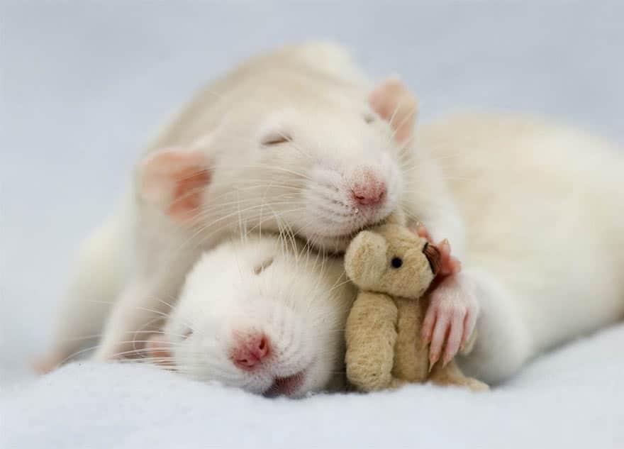 Крысы спят с мишкой Тедди