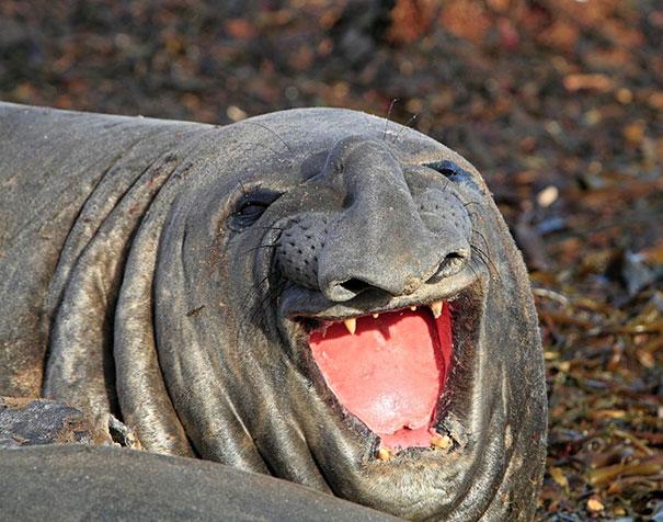 тюлень смеется