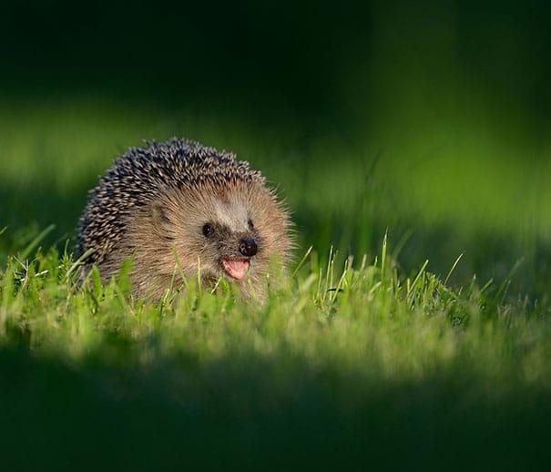 еж в траве