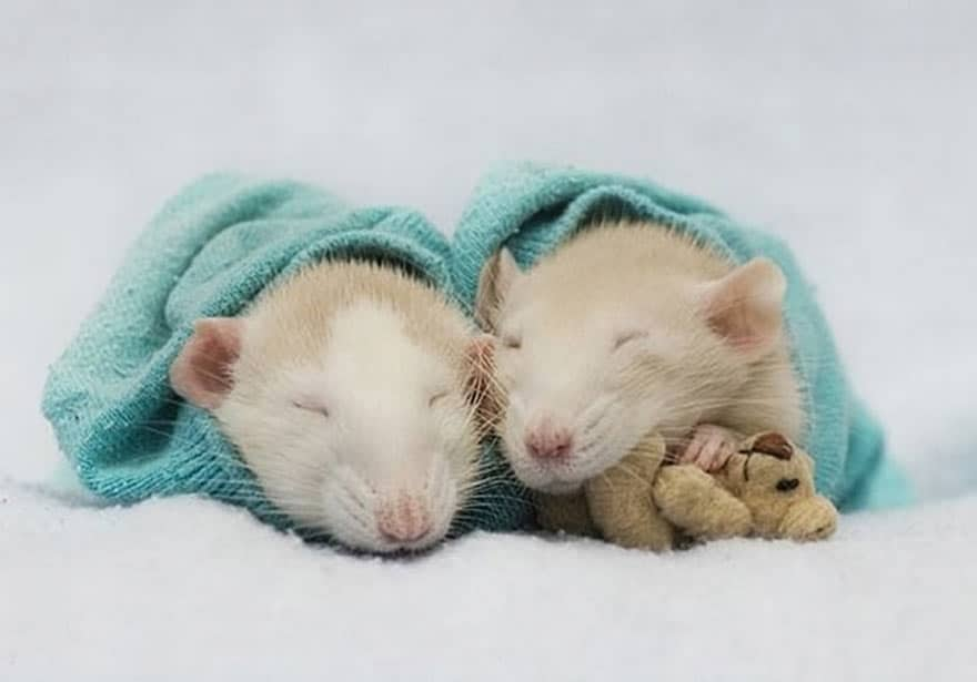 Две крыски под полотенцем