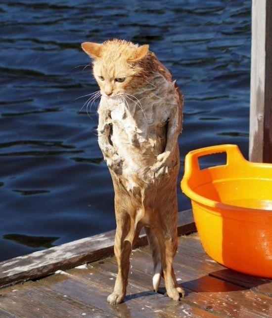 кот вылез из воды
