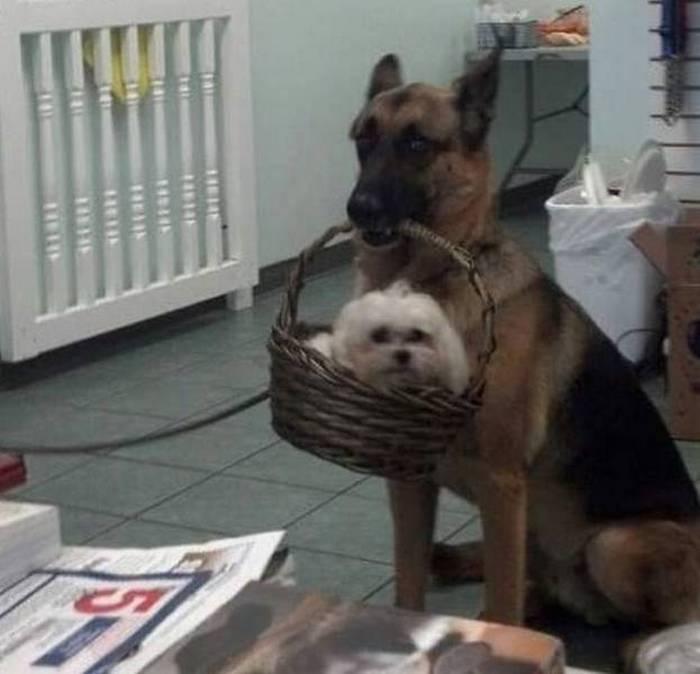 овчарка держит корзину с собакой