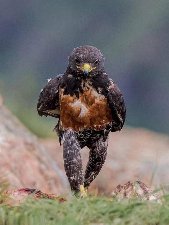 птица смешно идет