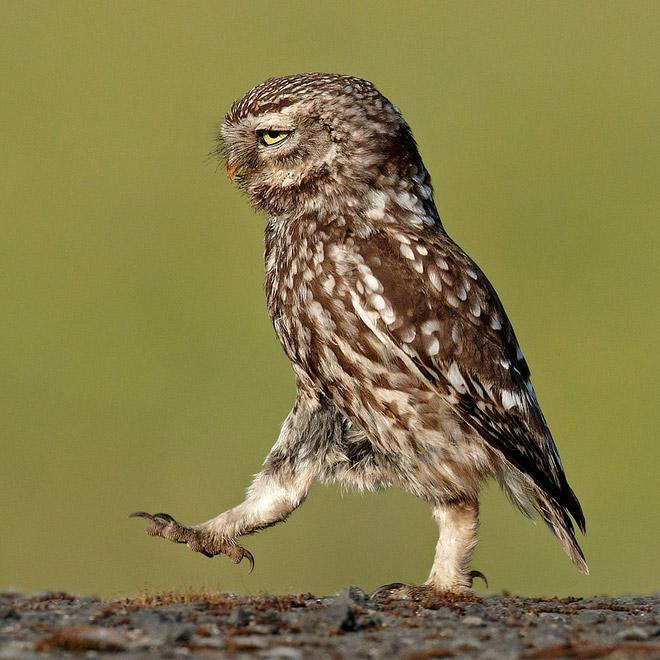 серьёзная сова