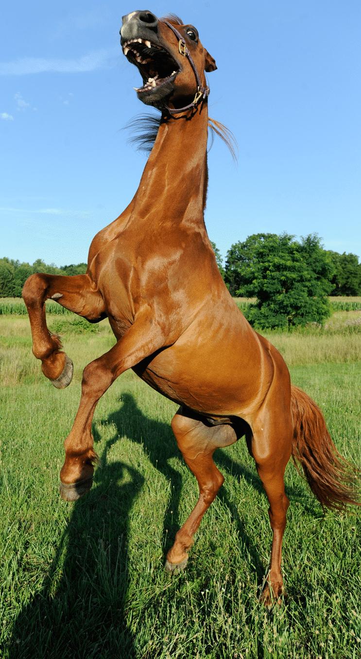 конь стоит на дыбах