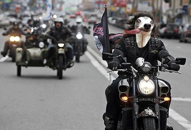 собака за рулем мотоцикла