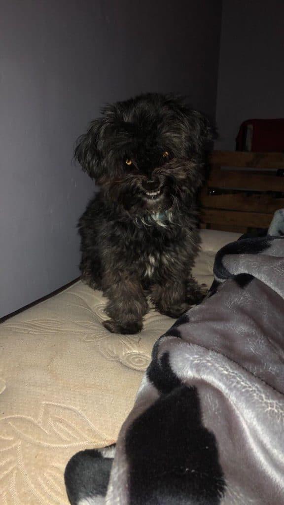 Черная злая собачка