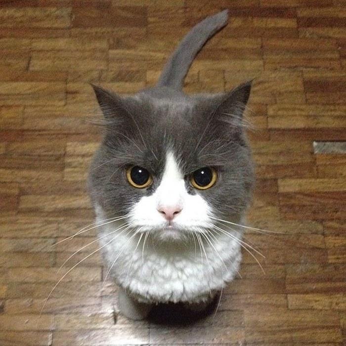 серо-белый кот