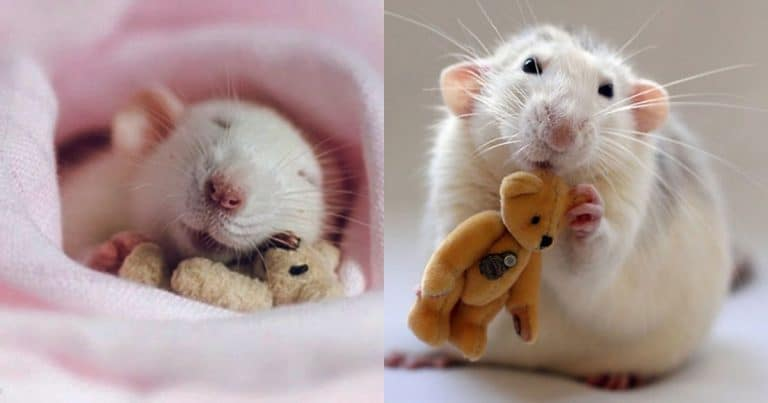 крысы1