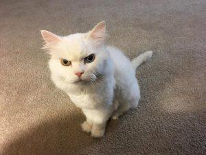 белый кот сердится