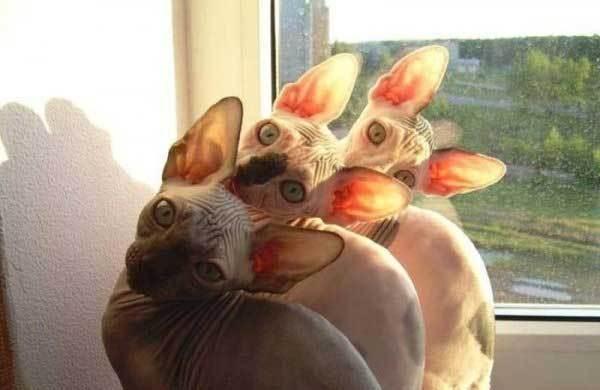 три кота породы сфинкс