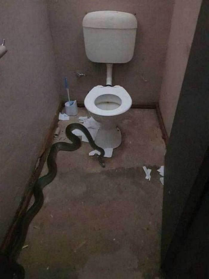 змея в туалете