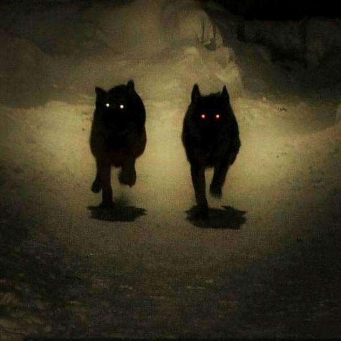 собаки бегут в темноте