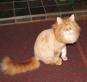 Рыжий кот с креативной стрижкой