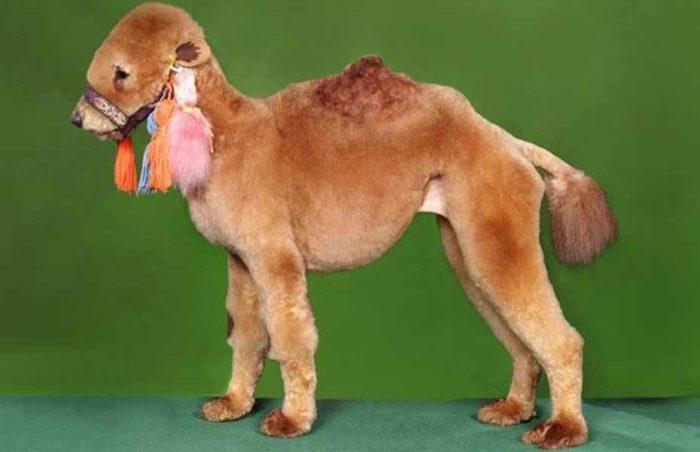 Собака подстриженная в виде верблюда