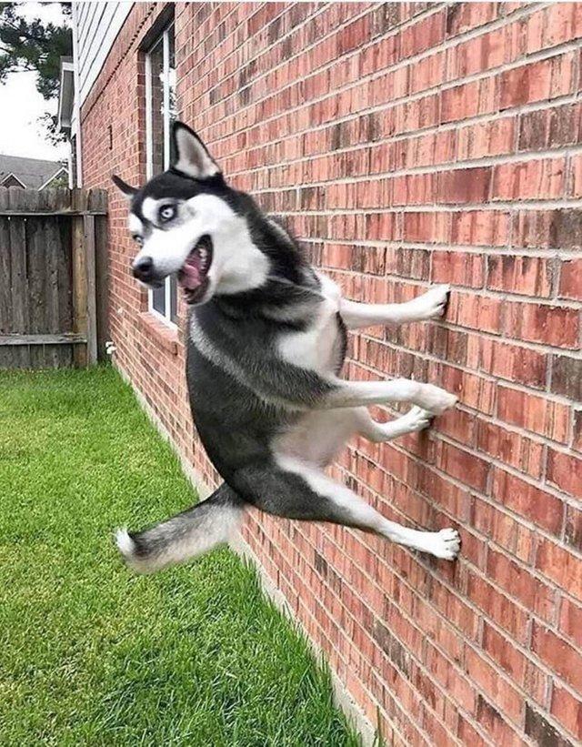 Собака запрыгивает на стену