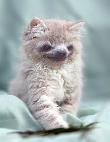 пушистый котенок с мордочкой ленивца