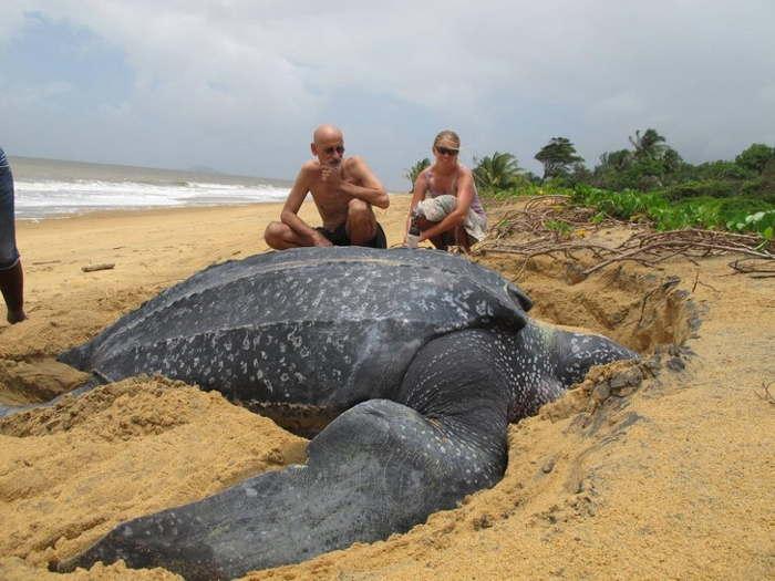 кожистая черепаха на пляже
