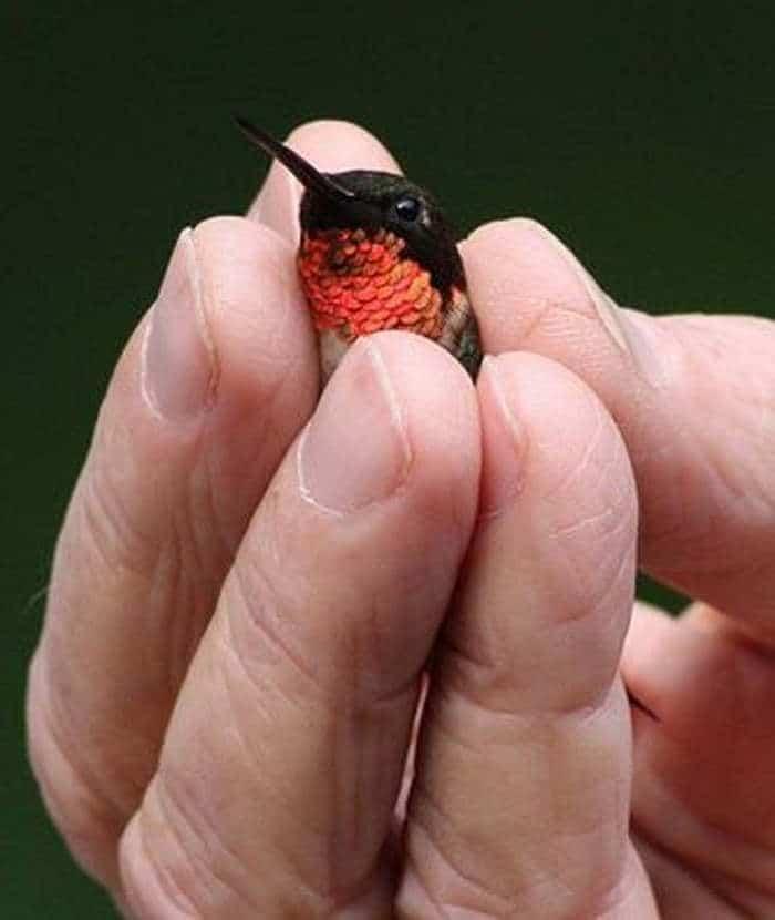 колибри в руке