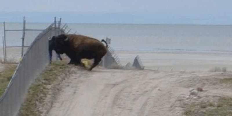 бизон атакует человека
