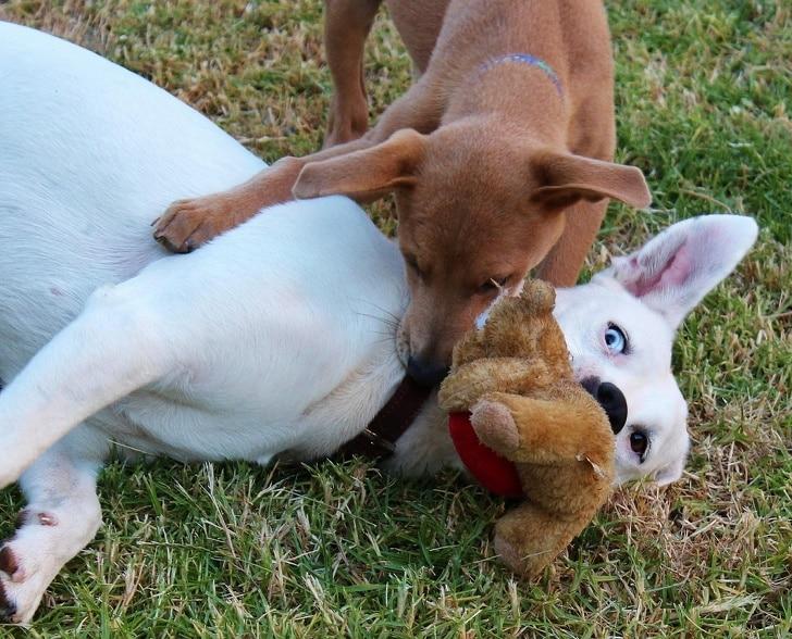 щенки играют с плюшевой игрушкой