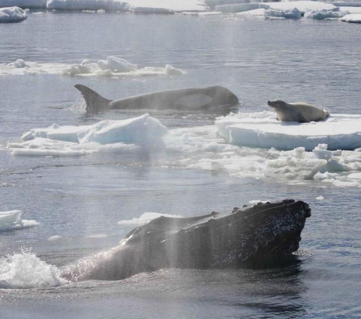 киты среди льдин