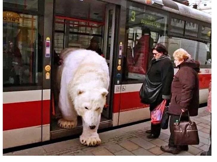 белый медведь выходит из автобуса в россии