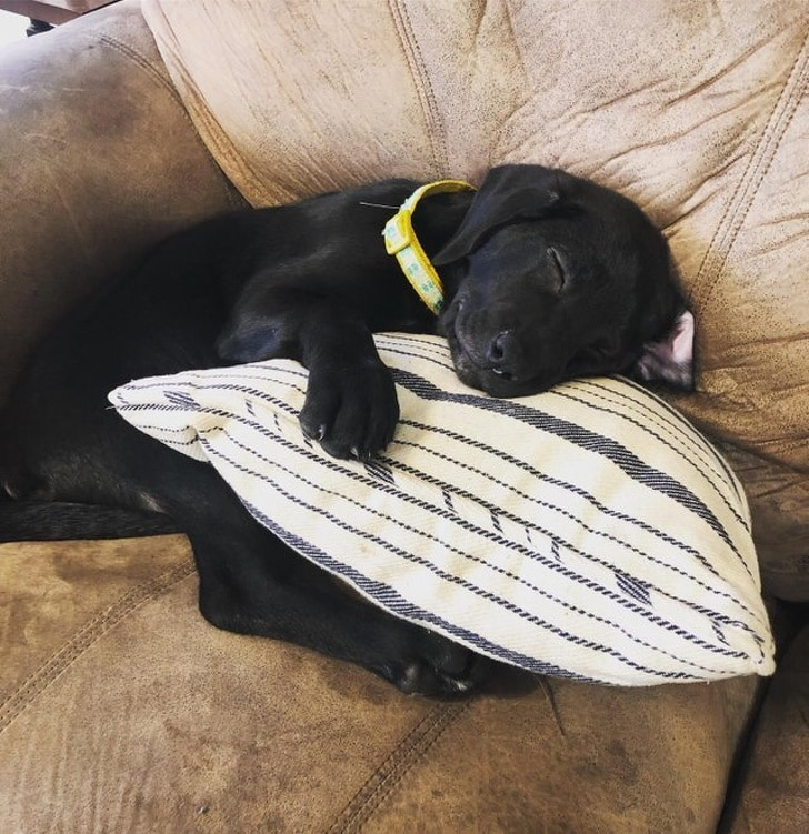 черный щенок спит на подушке