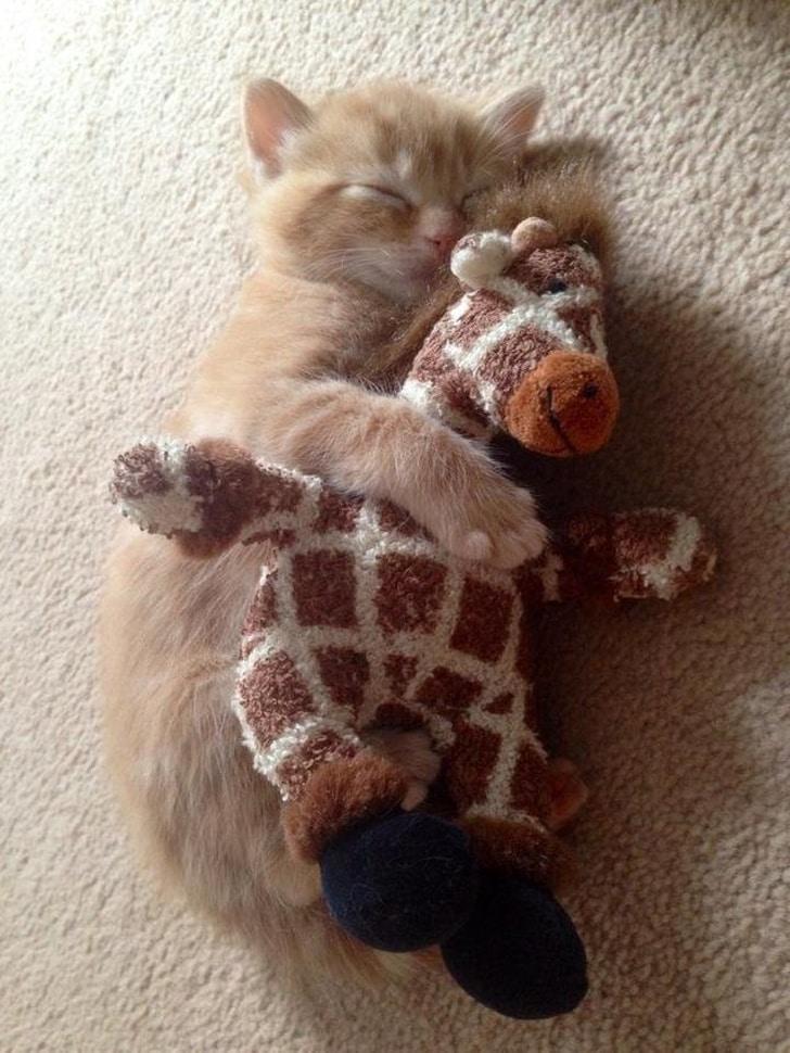 рыжий котенок в обнимку с жирафом