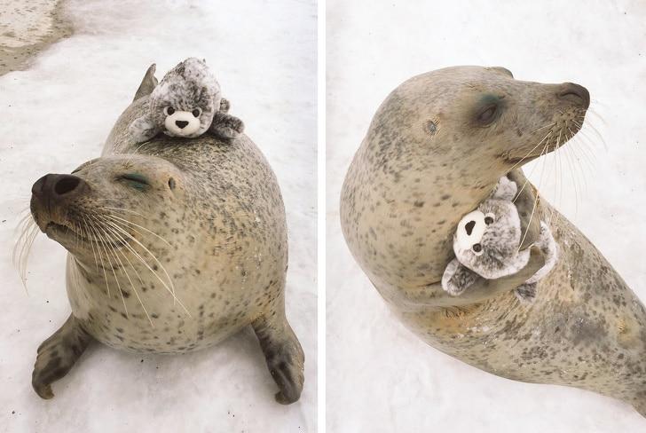 морской котик с игрушкой