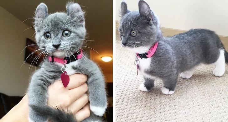 котенок манчкина