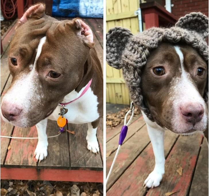 собака без ушей