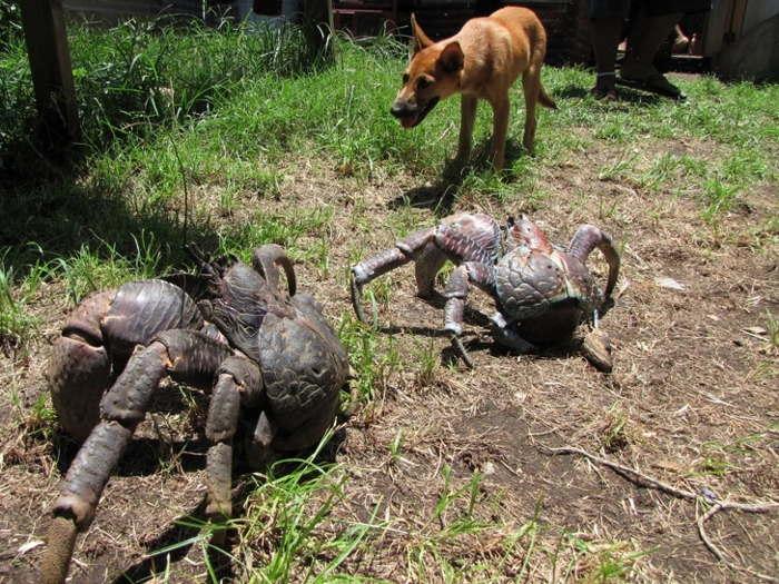 кокосовые крабы и собака
