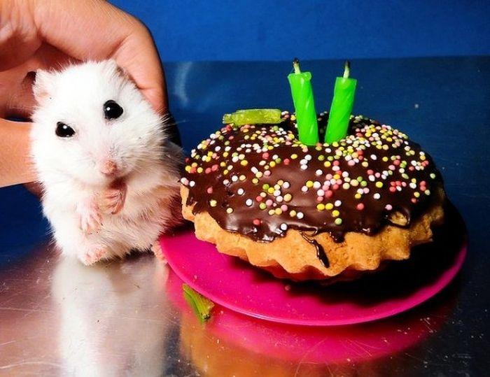 хомячок и кекс на день рождения