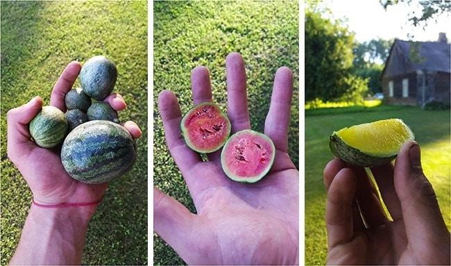 маленький арбуз