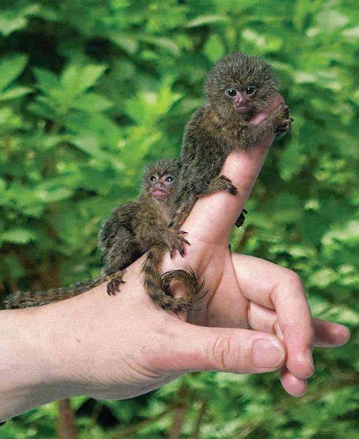 маленькие обезьянки на пальце