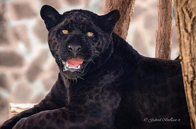 черный ягуар