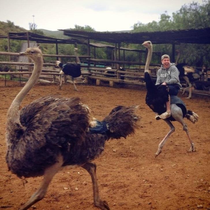 езда на страусах