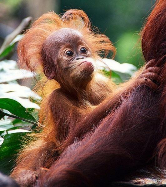 маленький орангутан