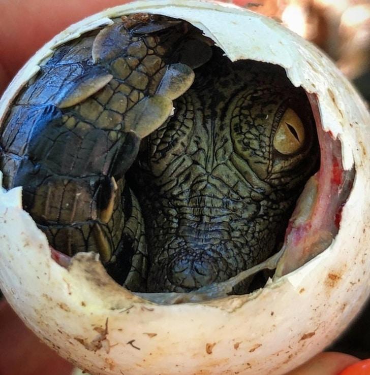 рождение крокодила