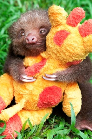ленивец в обнимку с игрушечным жирафом