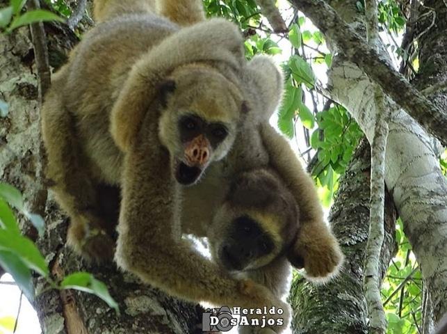 мохнатые паукообразные обезьяны