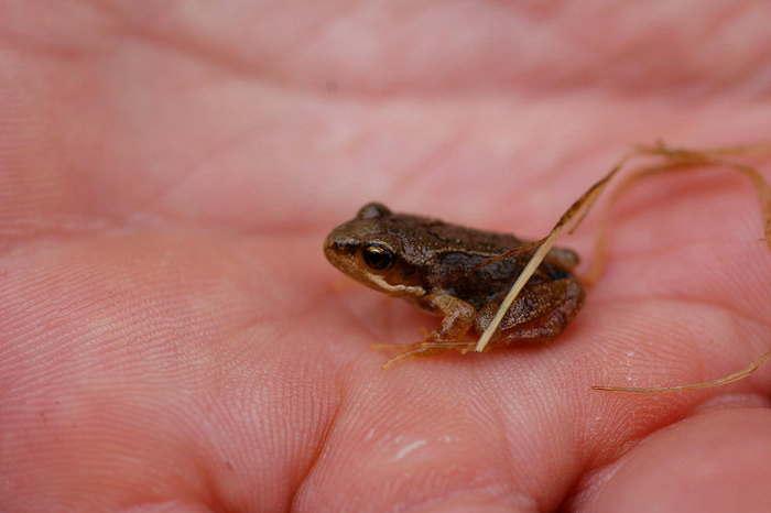 крошечная жаба на ладони