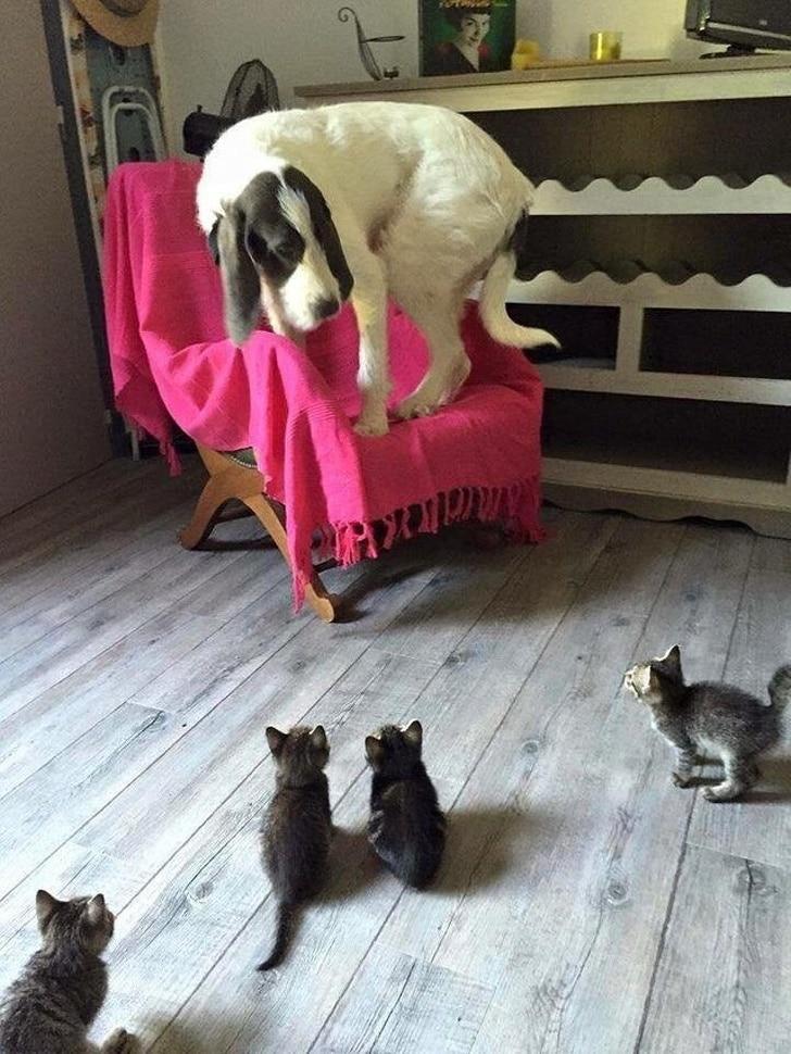 собака прячется на стуле от котят