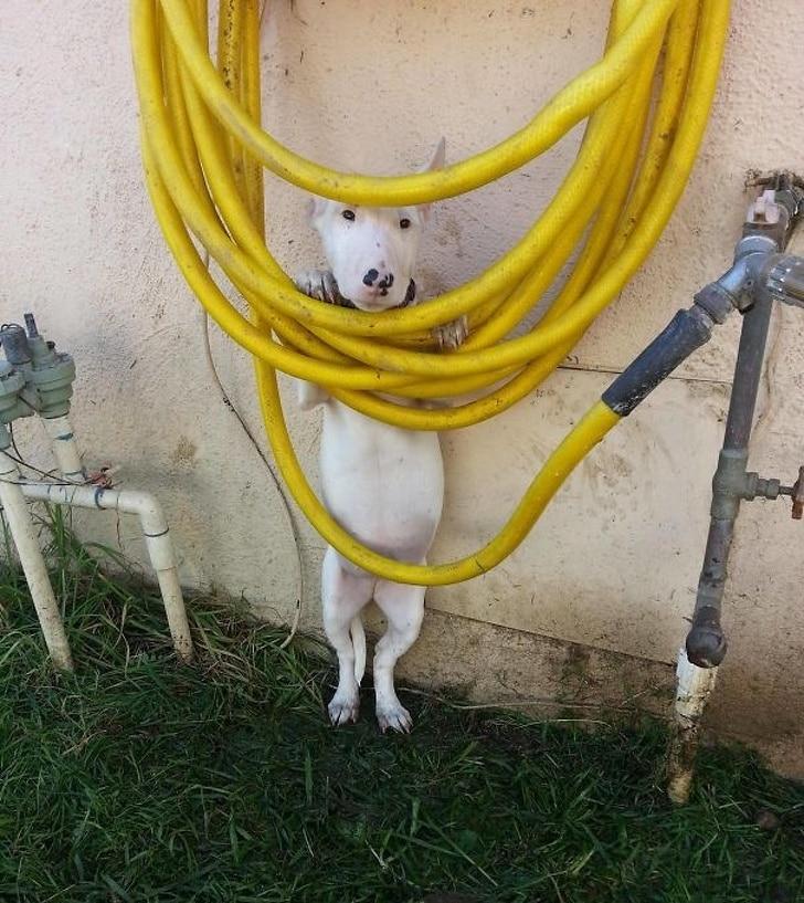 белая собака прячется за шлангом